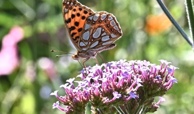 <p>De parelmoervlinder streek neer in de tuin van Heimen Huisman.</p>
