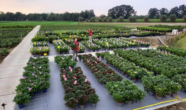 Op de kwekerij in de Gelderse Vallei staan duizenden rhododendrons, azalea's en Bloombux. Linksboven Bloombux, het alternatief voor de Buxus. Kwekerij Nova Zembla © BDU media