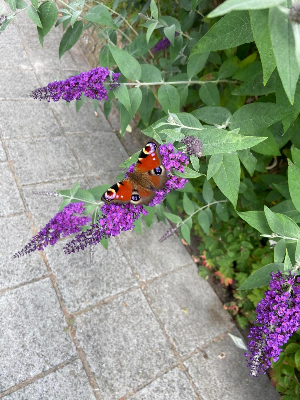 """Wij hebben geen huisdieren, maar wel veel """"tuin dieren"""". Vogeltjes, hommels, af en toe een pad én van de zomer veel vlinders. Lucy van bijna 2 heeft zich samen met mama verwonderd over de schoonheid van deze dagpauwoog. Renee Doornenbal © BDU media"""