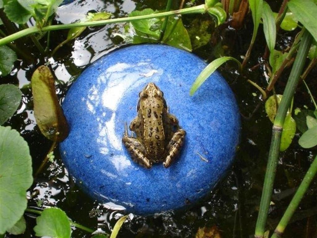 Bijgaand een foto van ons huisdier. Een kikker in onze kleine vijver op een drijvende steen. Jan Groeneveld © BDU media