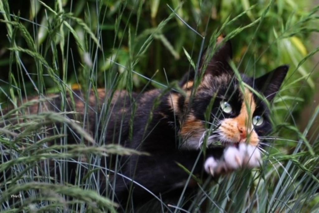 Onze kat Donder (afkorting voor Dondersteen) is een echte jager. Ze komt reglematig met de gekste dieren thuis, zoals zeemeeuwen, eksters en Veleermuizen. Op deze foto was ze gefocust op een spreeuw (die ze uiteindleijk niet gevangen heeft). Clarien van Oort © BDU media