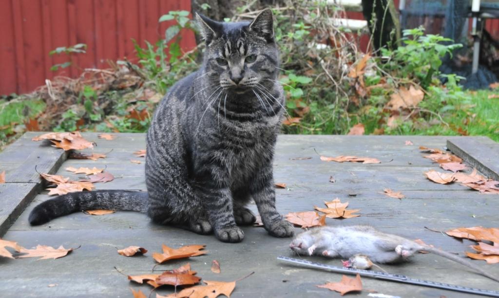 Een kat heeft een bruine rat gevangen, daar zal niemand bezwaar tegen hebben. René Kriek © BDU media