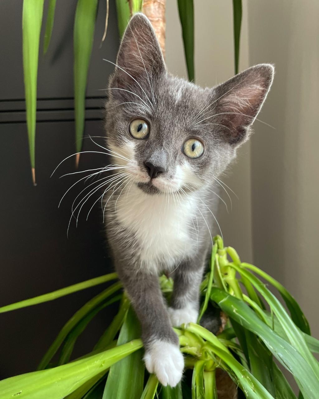 Hierbij mijn lieve kleine kitten Teddy! Brit Koele © BDU media