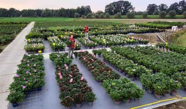 <p>Op de kwekerij in de Gelderse Vallei staan duizenden rhododendrons, azalea&#39;s en Bloombux. .</p>