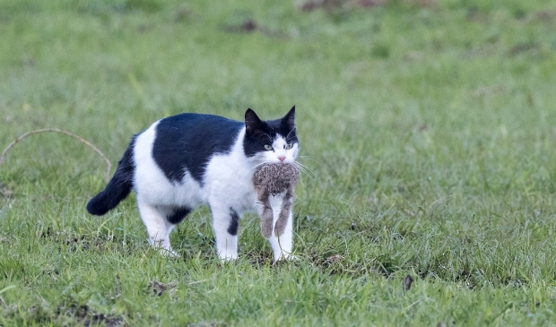 Een loslopende kat kan zomaar een jonge haas vangen.