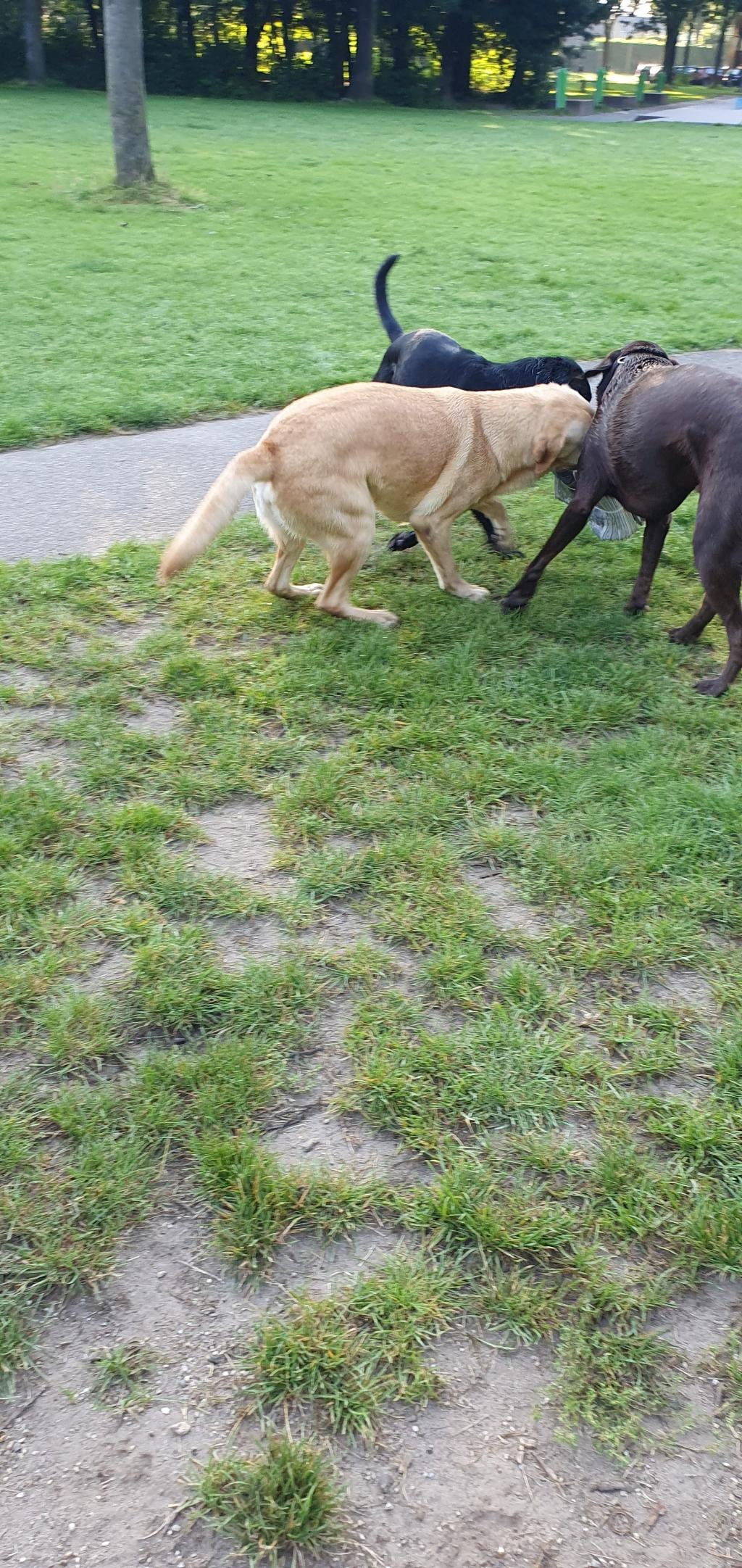 Drie honden aan de haal met de stapel groentjes Kim van Mildert © BDU media