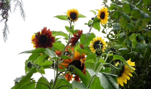 <p>,,De zonnebloemen steken nog steeds ver boven de heg uit.&#39;&#39;&nbsp;</p>
