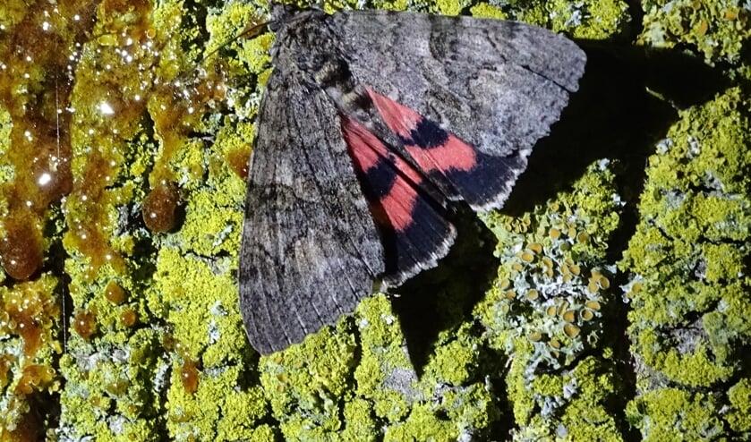Het rood weeskind (Catocala nupta) is een grote nachtvlinder, die zich niet laat zien bij teveel licht. (foto: Annemieke van Eeuwen, IVN)