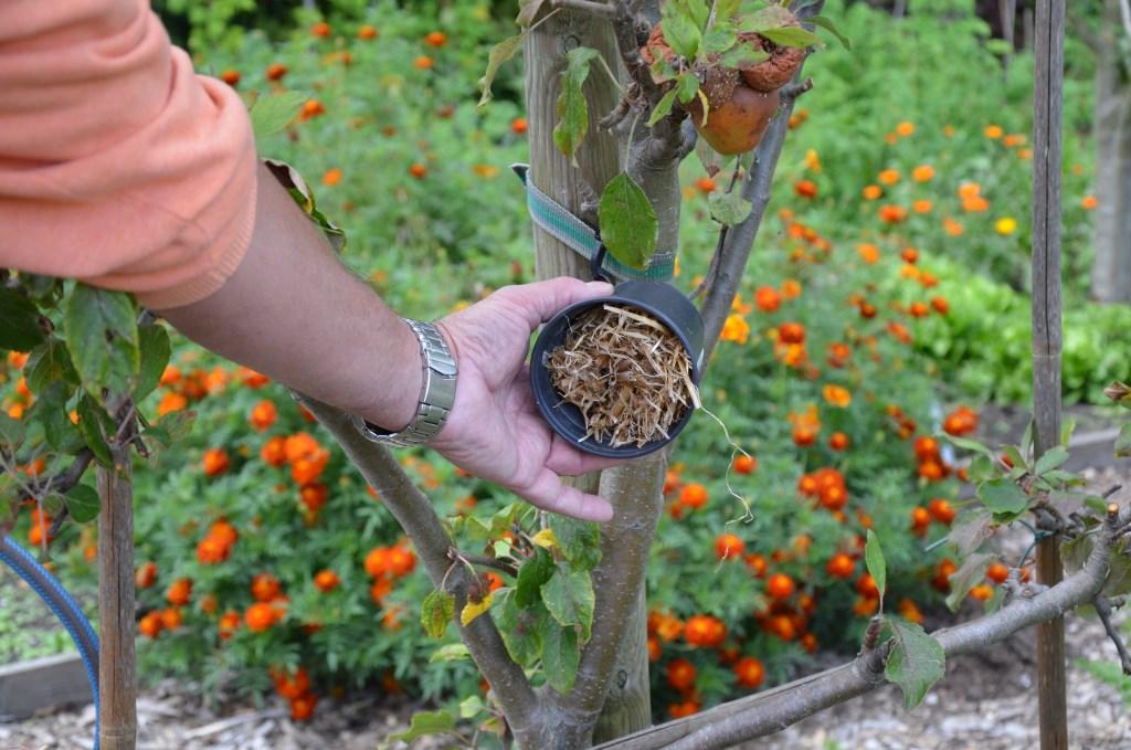 Potjes met stro om oorwurmen te lokken in fruitbomen.   © HvH Waddinxveen