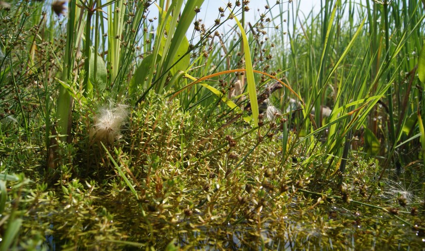 De watercrassula. (Foto: Jonathan Leeuwis, tekst: Nicole Lamers)