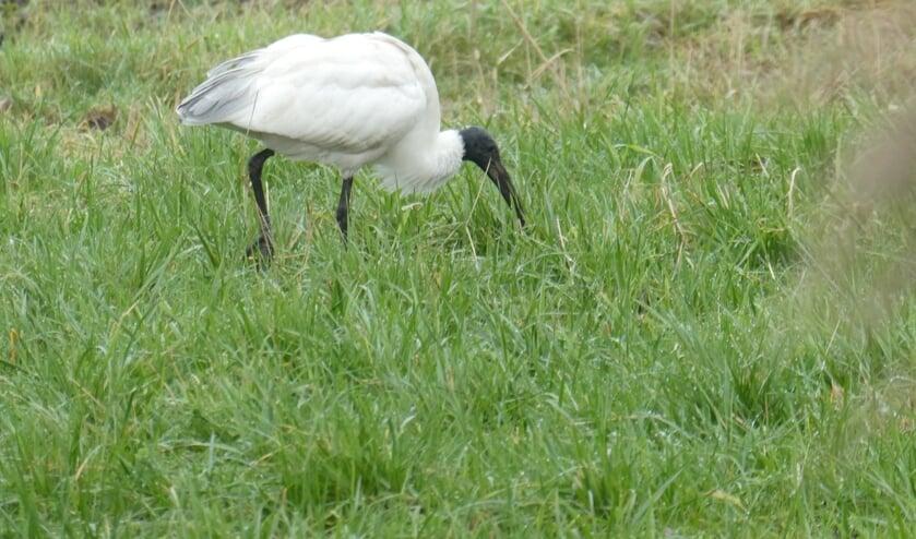 Diergaarde Blijdorp mist sinds kort een heilige witte ibis. (foto: Boet Loupatty)