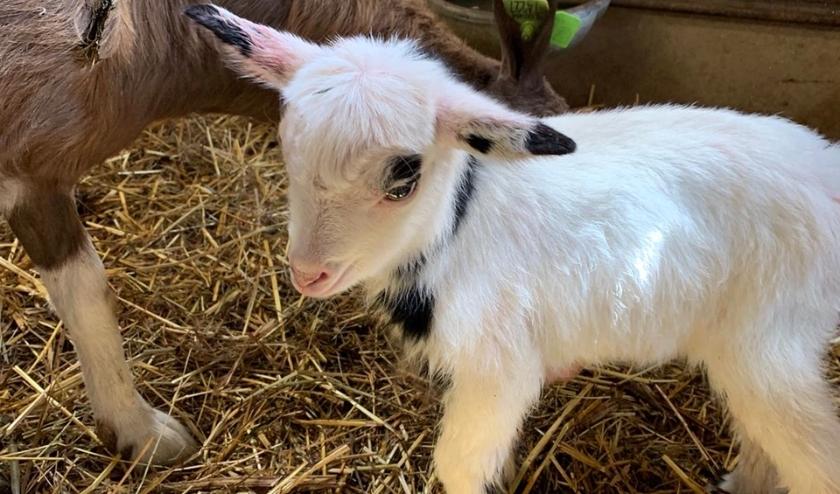Op Dierendal zijn inmiddels al zeven lammetjes geboren.