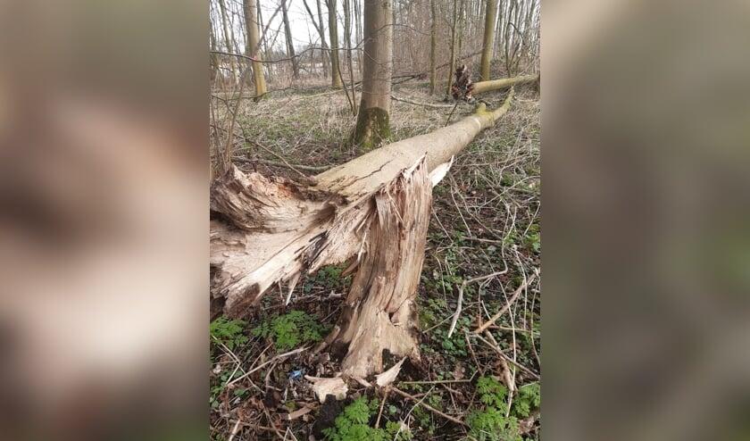 Zwammen slaan toe bij de aanhechting van de wortels en stam van de verzwakte bomen.