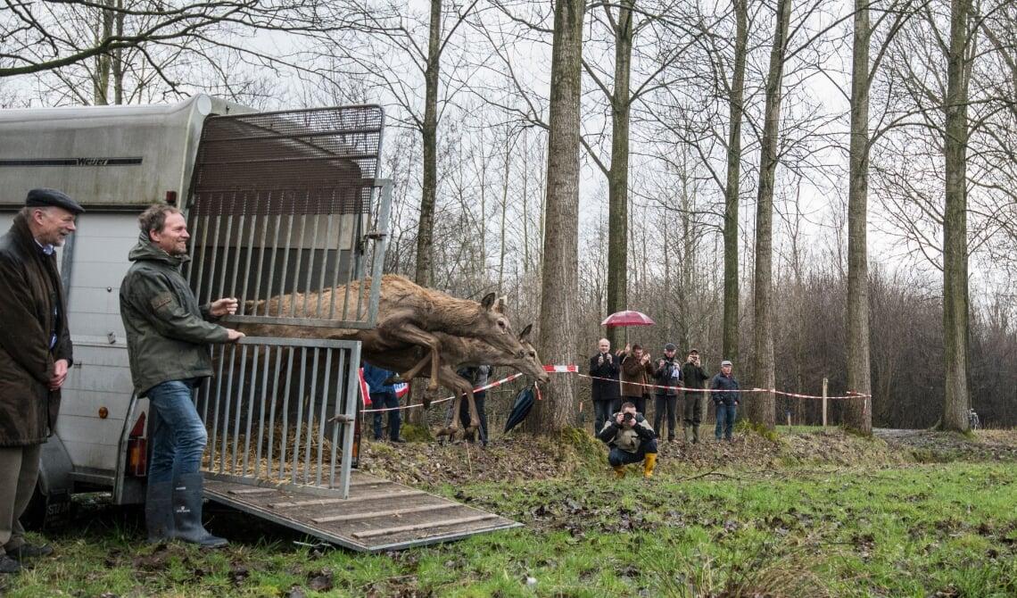 <p>Enkele van de dertien edelherten worden uitgezet nabij Liempde. (Foto: James van Leuven)</p>