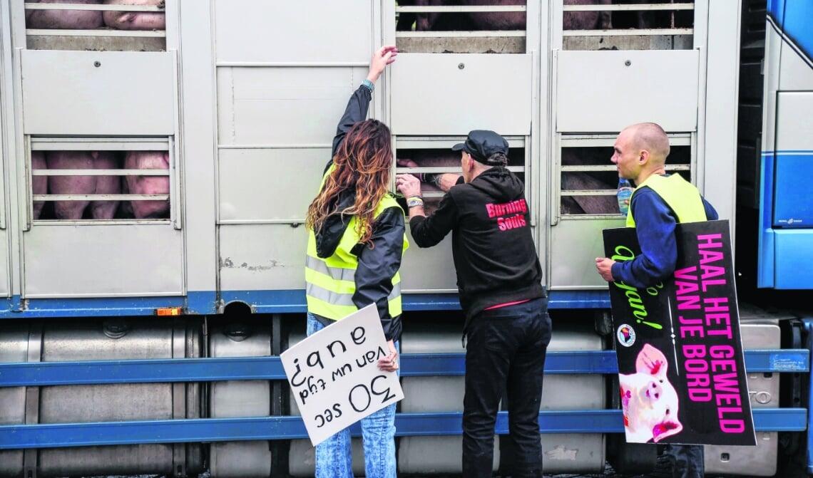 <p>Bij Vion worden dagelijks duizenden varkens geslacht en tot vlees verwerkt. Het bedrijf is de grootste Boxtelse werkgever. (Foto: Sander van Kasteren)</p>