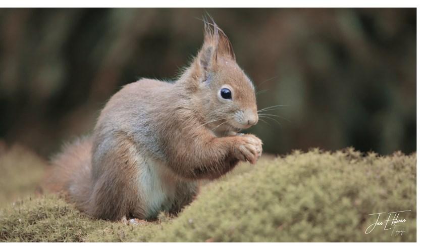 Een eekhoorn aan het knabbelen.     Fotonummer: 27a8c5
