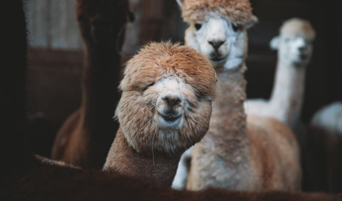 Alpaca: een niet alledaags huisdier