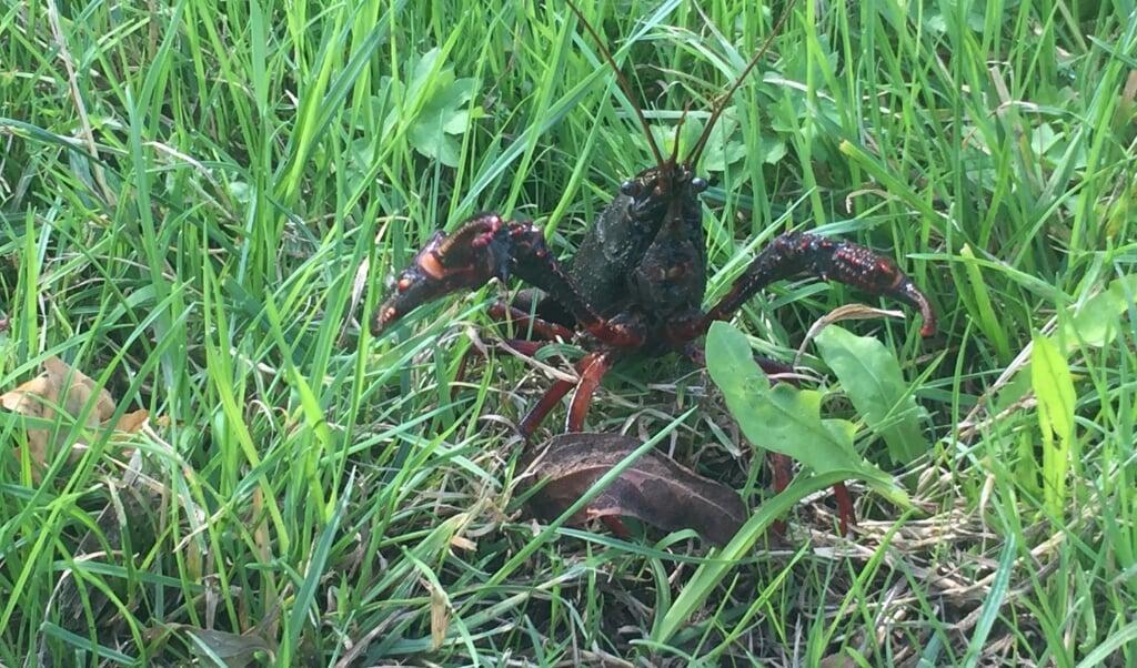 Een rivierkreeft veroorzaakt schade aan dijken.  (beeld nd)