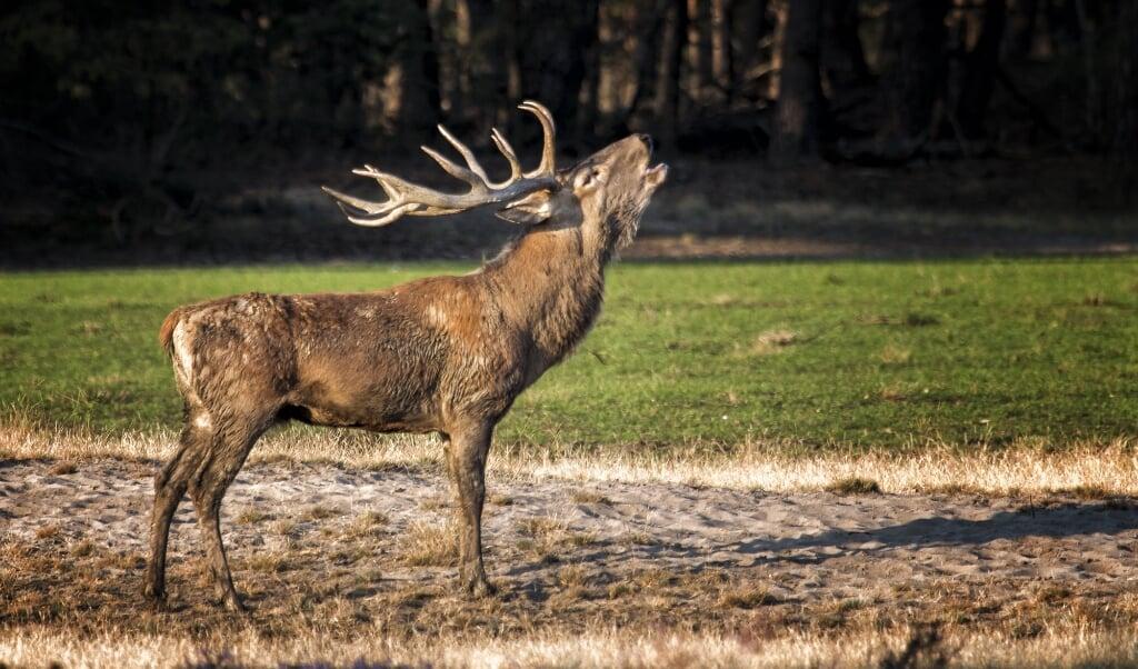 Een edelhert op de Veluwe. Van het edelhert dat al twee jaar in Drenthe verblijft, zijn nog geen foto's.  (beeld Andre Brasse)