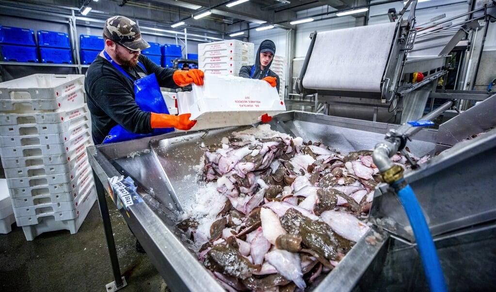 Bij de visafslag in Den Helder wordt vis gesorteerd.  (beeld Raymond Rutting)