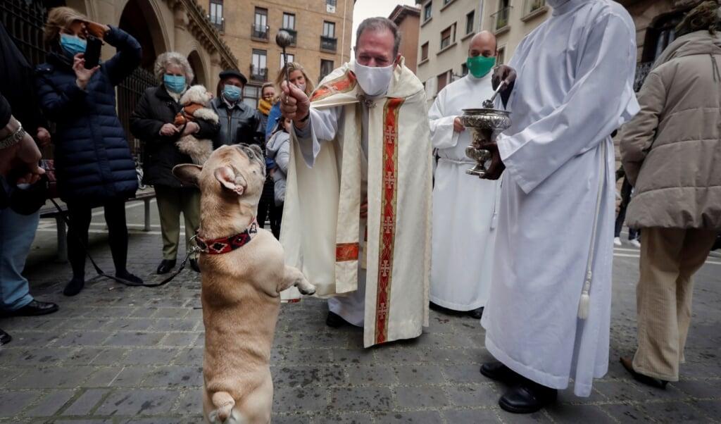 4 oktober is het wereldwijd dierendag. Maar vooral in Spanje en Italië kennen ze nóg een dag om huisdieren een extra knuffel te geven. Op 17 januari, de naamdag van de heilige Antonius, kunnen mensen daar hun hond of kat meenemen naar de kerk om ze door de priester te laten zegenen. Zoals hier op de foto in Pamplona in het noorden van Spanje. Want Franciscus van Assisi, wiens naamdag niet toevallig 4 oktober is, mag dan beschermheilige van de dieren zijn, Antonius is dat evenzeer. De kluizenaar, geboren in 251 in Egypte, werd bekend door de vele verleidingen die hij had in de eenzaamheid en die hij kleurrijk omschreef als wilde dieren. Hij leefde bovendien als vegetariër. In Italië vinden op 17 januari veel paardenoptochten plaats, zoals in Rome traditiegetrouw langs de Sint Pieter. Overigens is Antonius niet alleen de beschermheilige van de dieren, maar ook van de slagers.  (beeld epa / Villar Lopez)
