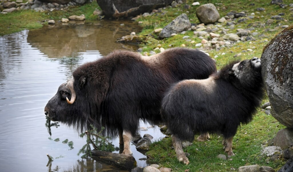 Ondanks hun schijnbare aaibaarheid waren de muskusossen volgens directeur Rob Huppertz na de leeuwen de gevaarlijkste dieren van zijn zoo.   (beeld Marcel van den Bergh)