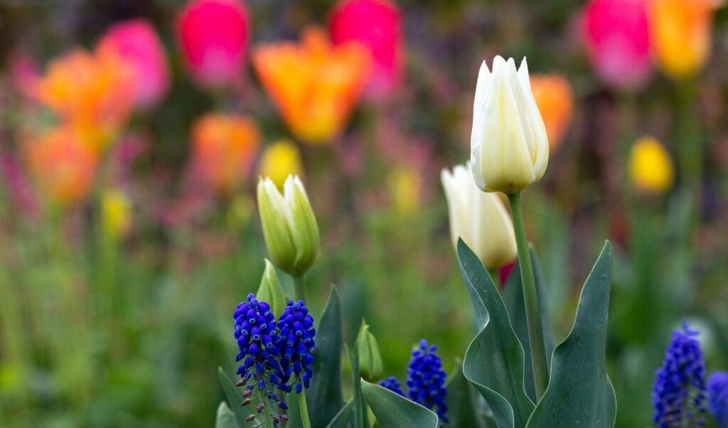 Tulpenvariatie  (beeld Jaap Meijer)