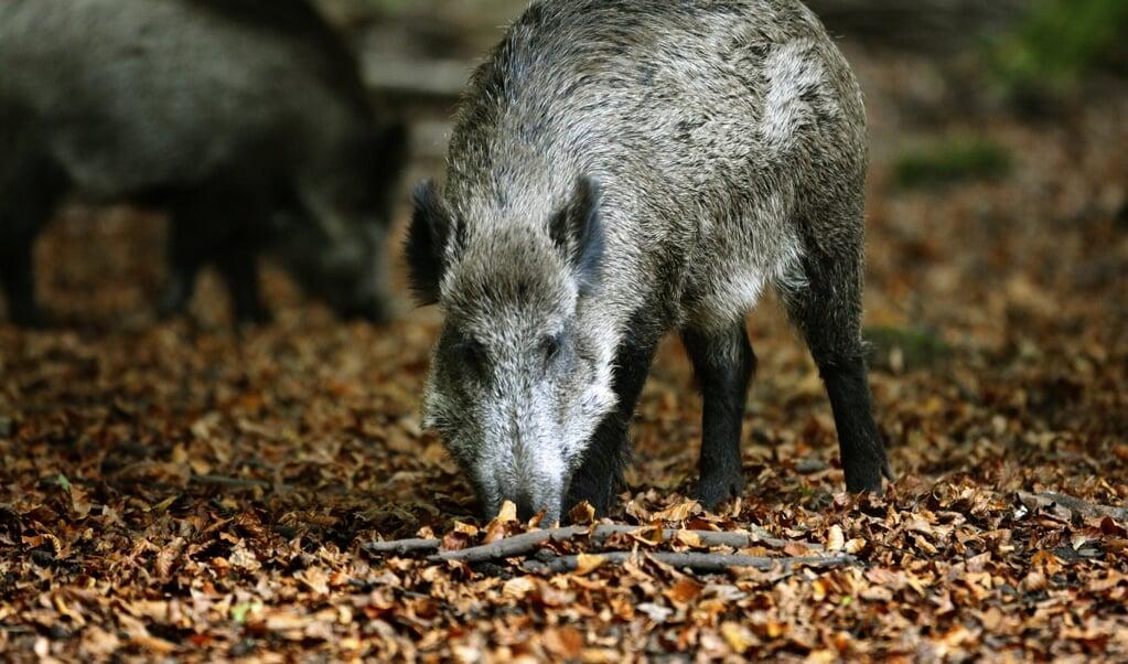 Wilde zwijnen op zoek naar voedsel op de Veluwe. Eikels en beukennootjes vormen het hoofdgerecht van zwijnen.  (beeld anp / Koen Suyk)