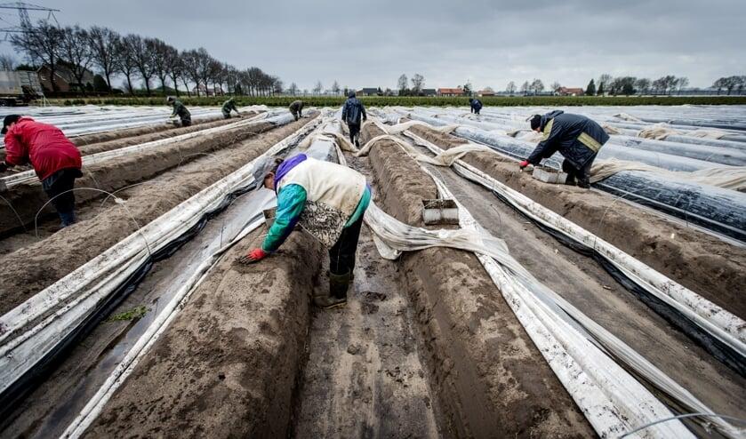 Voor het steken van asperges worden vaak arbeidsmigranten ingezet.  (beeld anp / Robin van Lonkhuijsen)