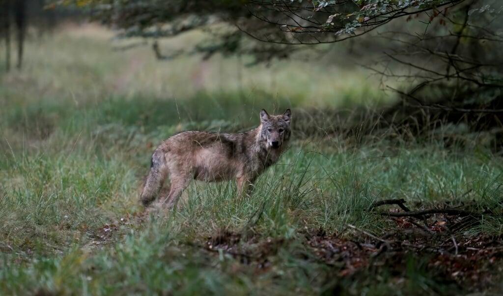 Een wolf op de Veluwe.  (beeld anp / Otto Jelsma)