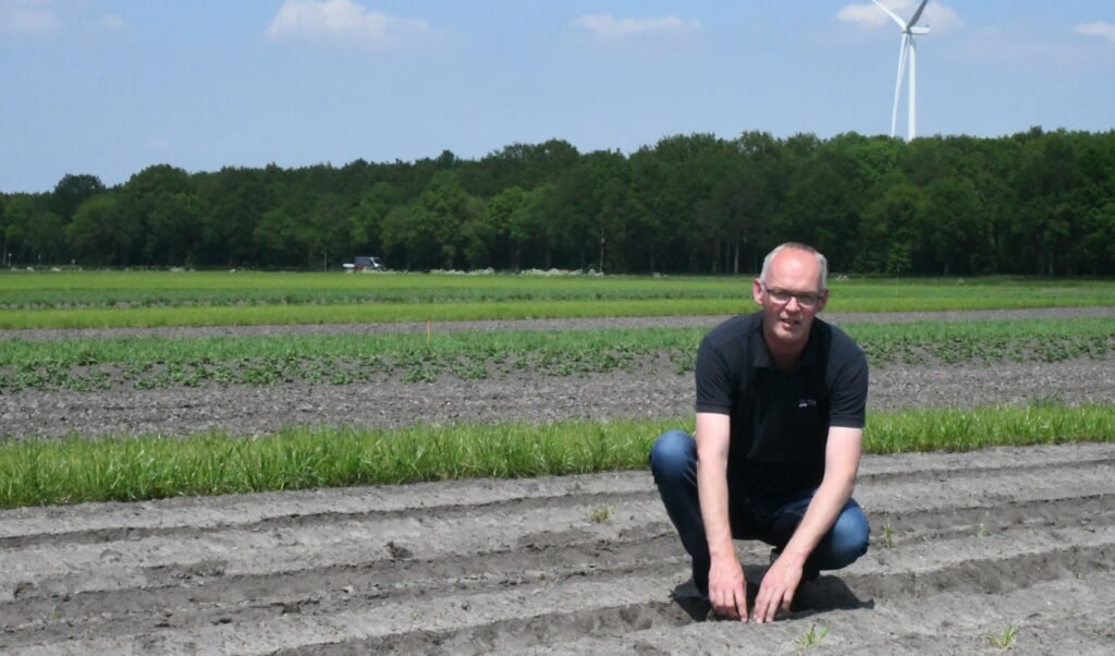 Gerard Hoekzema van proefboerderij 't Kompas in Valhermond in de strook met cichorei.  (beeld Theo Haerkens)
