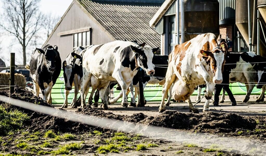 Koeien gaan voor het eerst in het seizoen naar buiten in het Groene Hart.  (beeld anp / Remko de Waal)