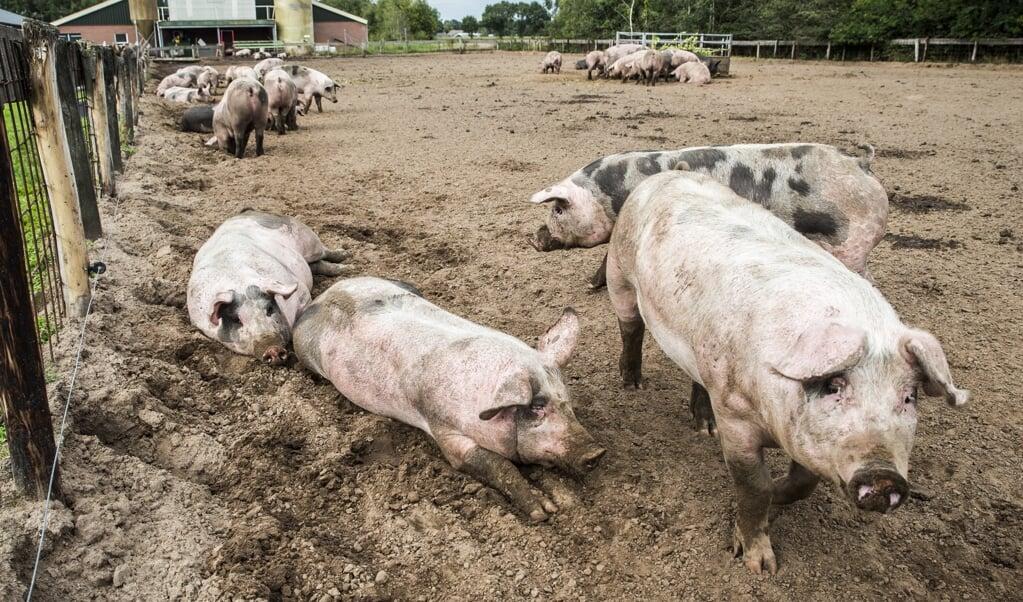 Varkens lopen buiten bij een boerderij in Bathmen.  (beeld anp / Vincent Jannink)