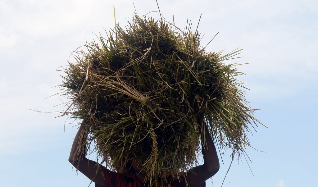 In Sri Lanka werd een vorm van nierkanker geconstateerd bij 20 procent van de gebruikers van een bestrijdingsmiddel met de werkzame stof glyfosaat. Inmiddels heeft de regering van het land het gebruik verboden.   (beeld Lakruwan Wanniarachchi / afp)