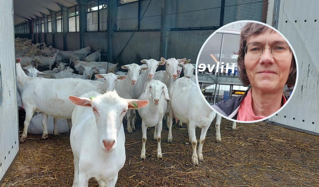 De geiten van Ton van Wolfswinkel.  (beeld nd)