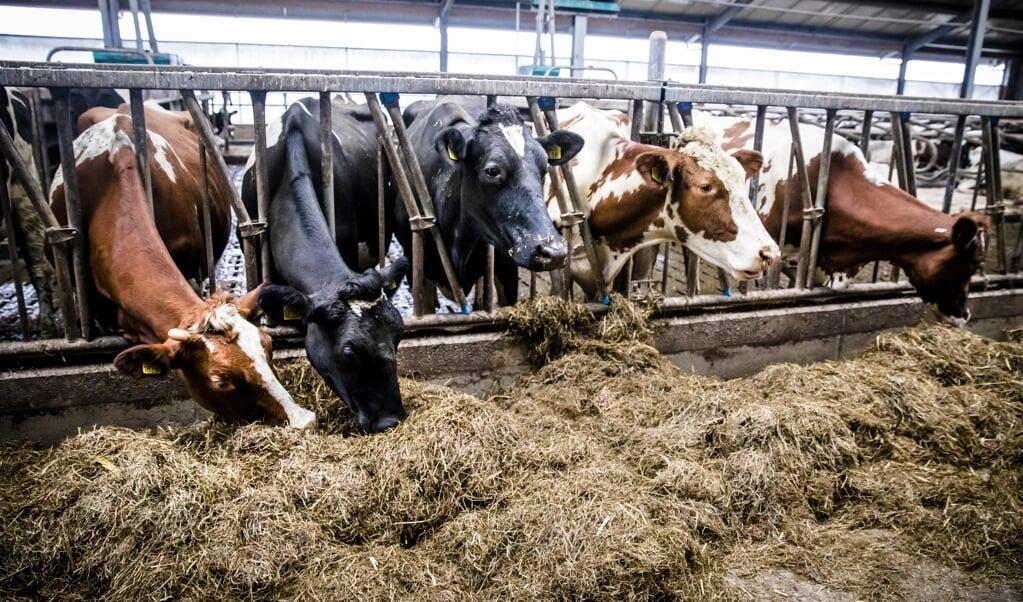 'Het is niet het vee zélf dat vervuilt, maar wat je in de koeien stopt.'  (beeld anp / Bart Maat)