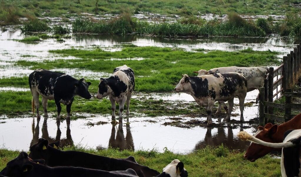 Koeien op het land achter de Tempeldijk in Reeuwijk hebben natte voeten nadat de dijk is doorgebroken. Dat had niets te maken met de overstromingen in Limburg, maar wat is dan wel de oorzaak?  (beeld anp / hollandse hoogte)