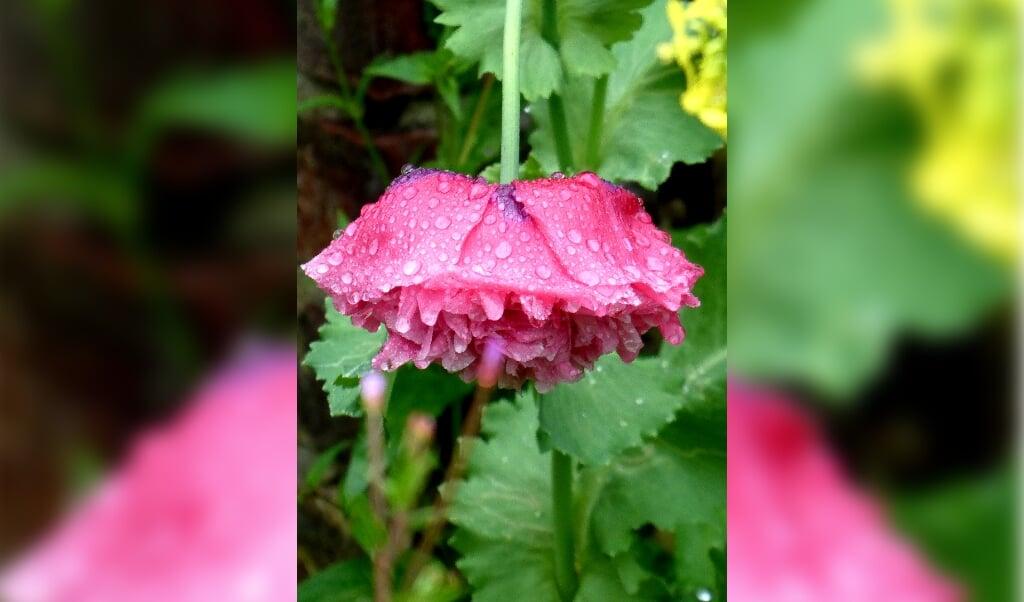 Regendruppels op een bloem.  (beeld Greet van der Molen, Westeremden)