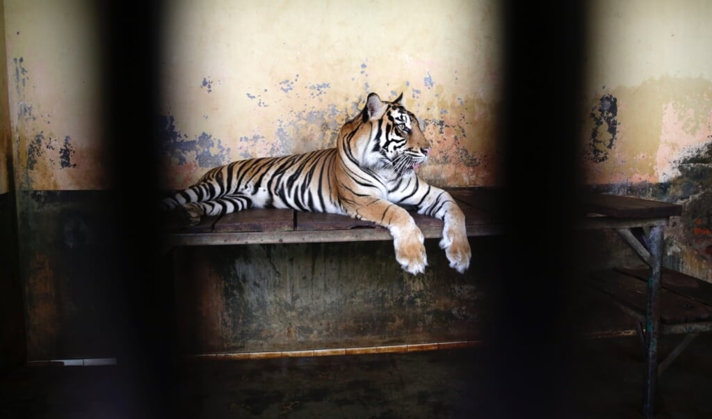2021-08-02 14:47:42 epa09387445 A male tiger, Tina rests inside the cage after it get Covid-19 swab test at Ragunan Zoo in Jakarta, Indonesia, 02 August 2021. Two endangered male Sumatran tigers Tino nine-year old and Hari twelve year-old at the Ragunan zoo have tested positive for the coronavirus but are expected to recover and currently receiving treatment and are under close supervision from the Ragunan Zoo medicine team.  EPA/ADI WEDA  (beeld epa / Adi Weda)