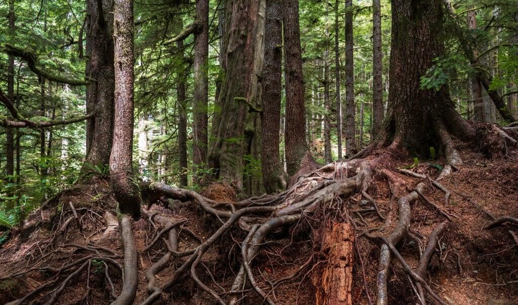 Bomen met een verstrengeld wortelnetwerk in Avatar Grove op Vancouver Island.  (beeld iStock)