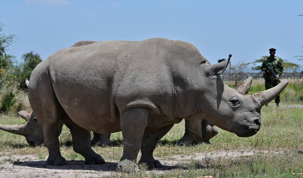 2019-08-23 14:08:17 Najin (foreground), 30, and daughter Fatu, 19, two female northern white rhinos, the last two northern white rhinos left on the planet, graze in their secured paddock on August 23, 2019 at the Ol Pejeta Conservancy in Nanyuki, 147 kilometres north of the Kenyan capital, Nairobi. Veterinarians have successfully harvested eggs from the last two surviving northern white rhinos, taking them one step closer to bringing the species back from the brink of extinction, scientists said in Kenya on August 23. Science is the only hope for the northern white rhino after the death last year of the last male, named Sudan, at the Ol Pejeta Conservancy in Kenya where the groundbreaking procedure was carried out August 22, 2019.  TONY KARUMBA / AFP  (beeld Tony Karumba / afp)