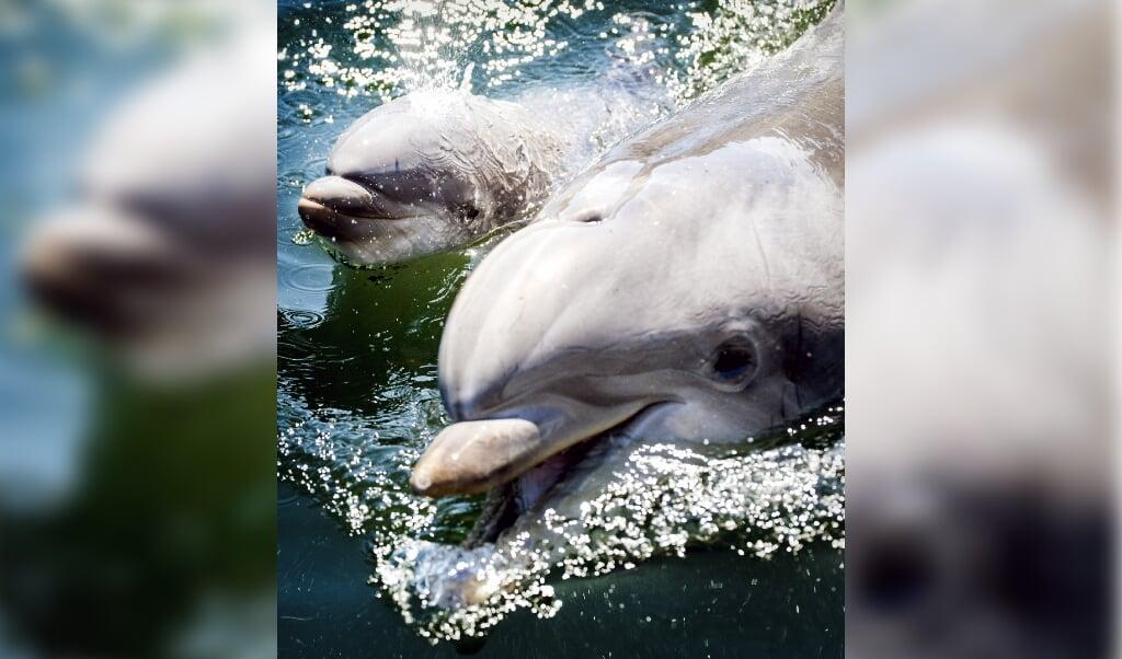 2017-05-27 14:38:44 HARDERWIJK - Een pasgeboren dolfijntje zwemt met haar moeder Roxy in het Dolfinarium, een dag na de geboorte van het kalfje. ANP KOEN VAN WEEL  (beeld anp / Koen van Weel)