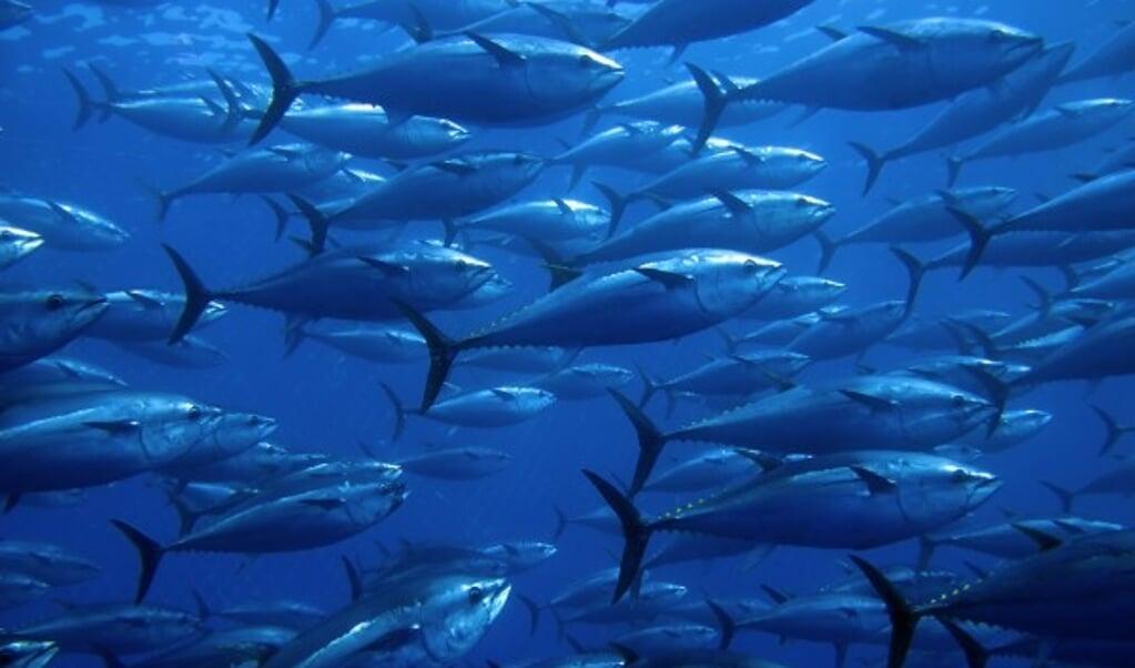 Blauwvistonijn  (beeld Shutterstock)