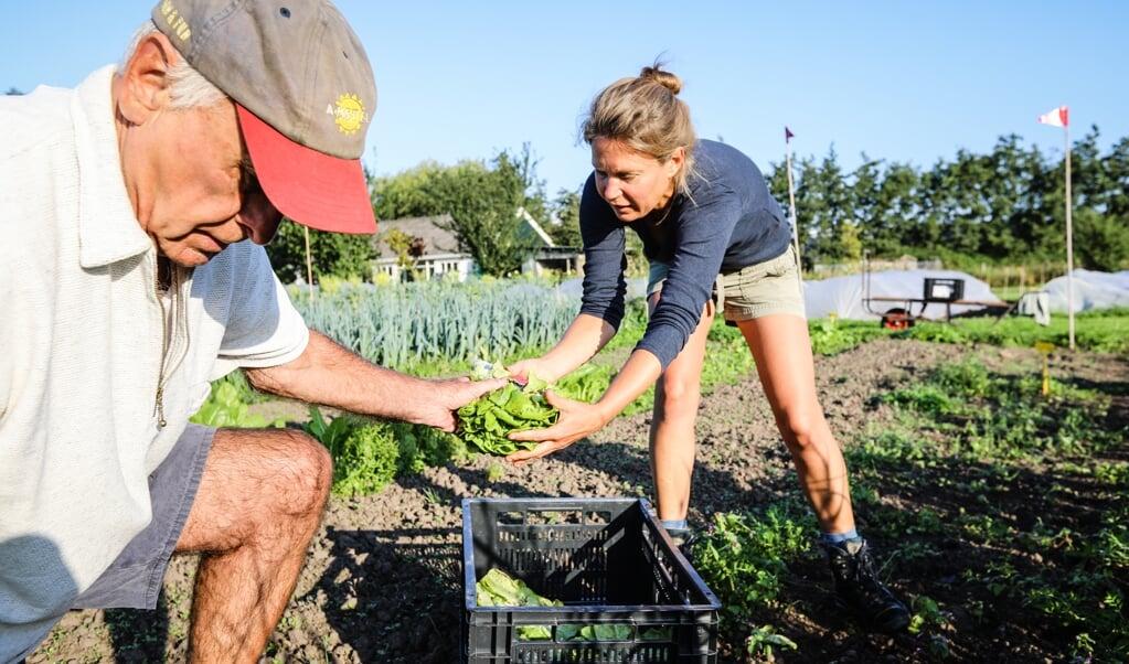 Chris Oppenheimer drukdoende met oogsten van sla.  (beeld Maarten Boersema)