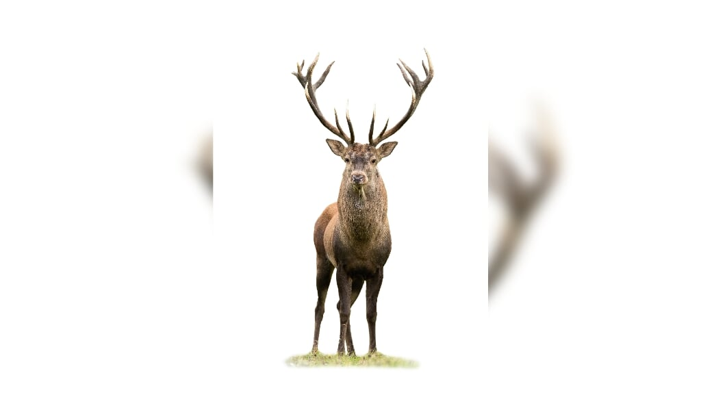 Curious red deer, cervus elaphus, stag looking into camera isolated on white background. Majestic male mammal with strong antlers standing on green grass from front view cut out on blank.  (beeld istock)