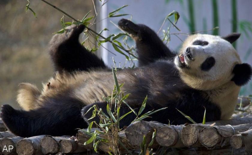 Aantal reuzenpandas in het wild neemt toe