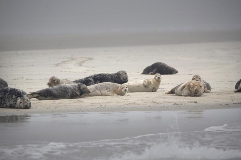 Waddenzee blijft te vuil voor zeehond