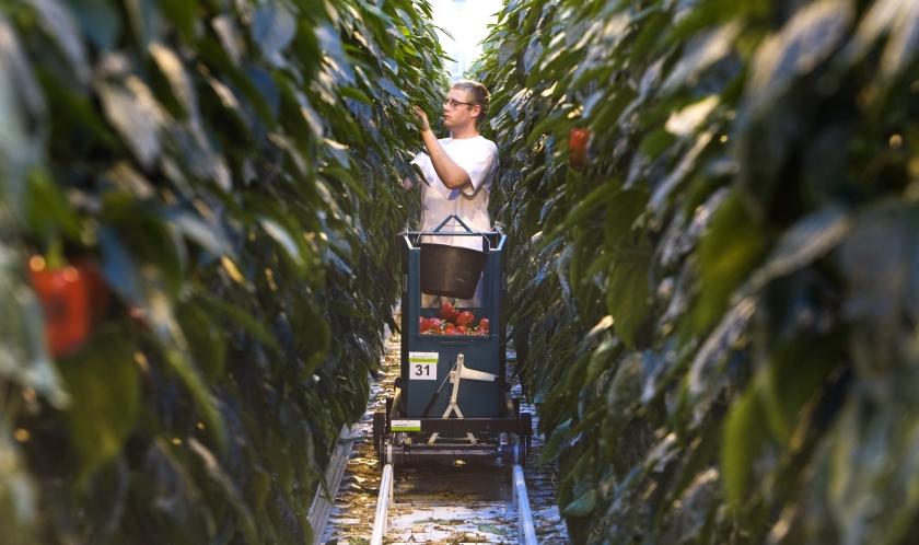 Ondergang dreigt voor groentetelers
