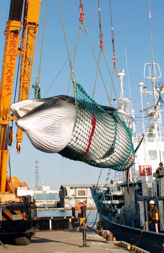 Zuid-Korea onder vuur om plan voor walvisjacht