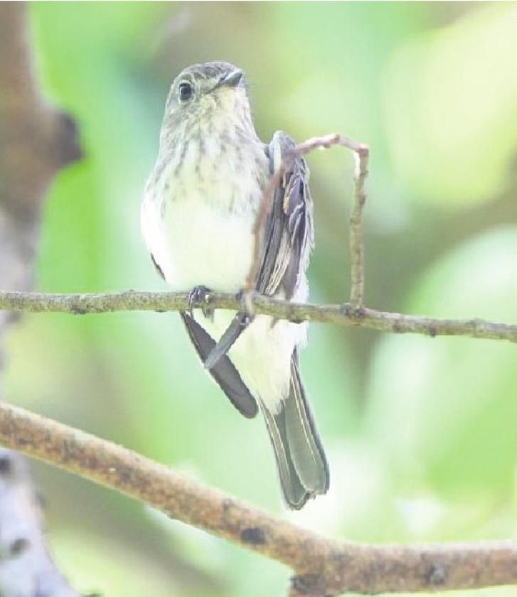 Nieuwe vogelsoort ontdekt op Celebes